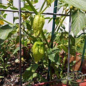 wie man Tomatillo anbaut