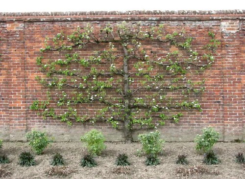 Espalier_tree_-_geograph.org.uk_-_776943