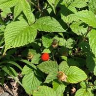 庭の野イチゴ2