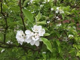 appleBlossoms1_16May16