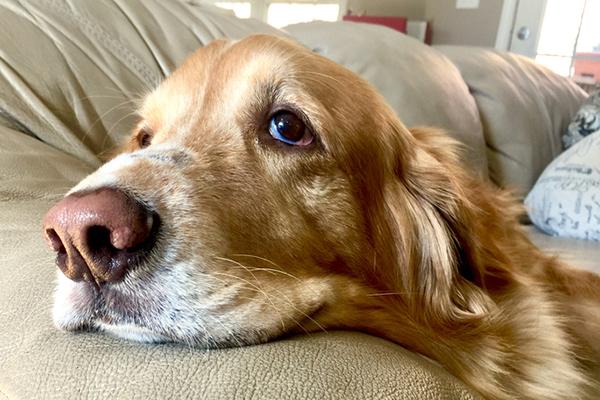 Perro comió ibuprofeno