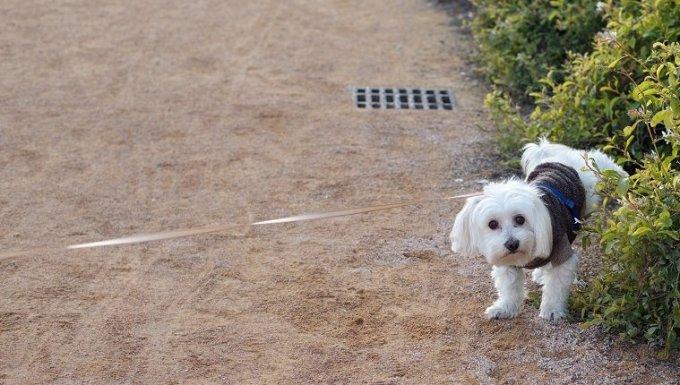 Perro maltés orinando sobre plantas