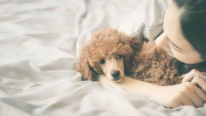 Mujer joven miente y duerme con perro caniche en la cama.