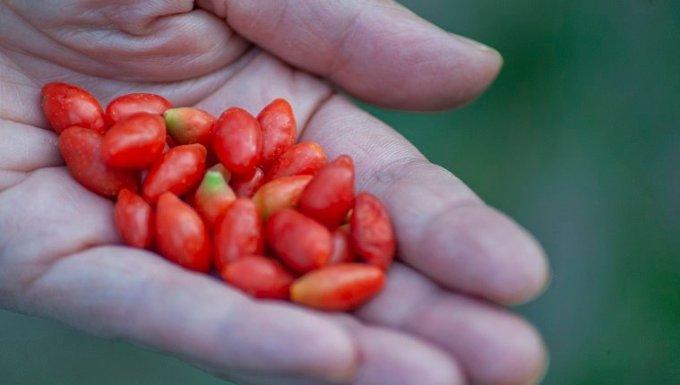 Mujer agricultora con fruta de baya de goji en sus manos, comida sana