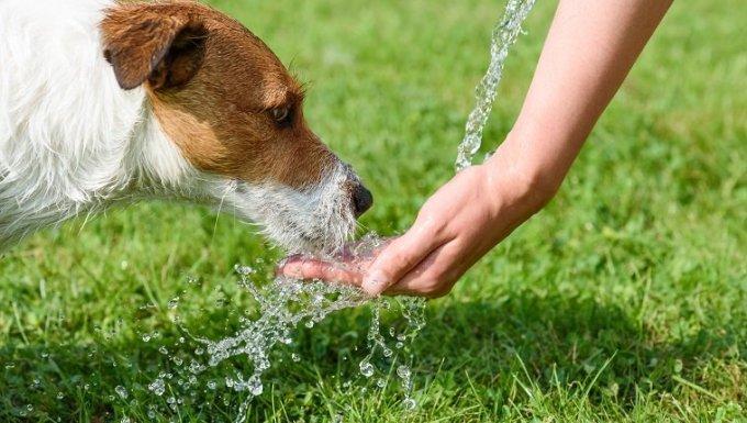 Agua potable de Jack Russell Terrier