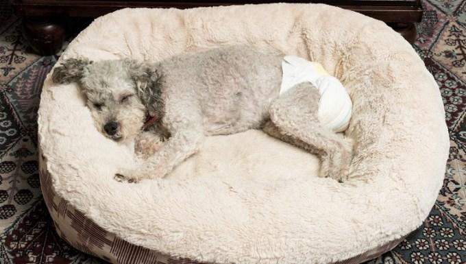 Old Yorkshire Terrier Poodle Mix perro durmiendo en su cama vistiendo un pañal para perros para la incontinencia