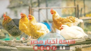 Photo of شبكه أخبار مصر ترصد لكم أسعار الدواجن اليوم الاربعاء ٥غسطس 2020