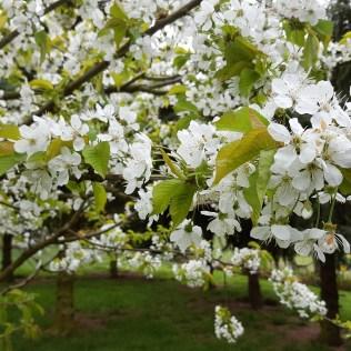 Kirschblüte in der Heimat