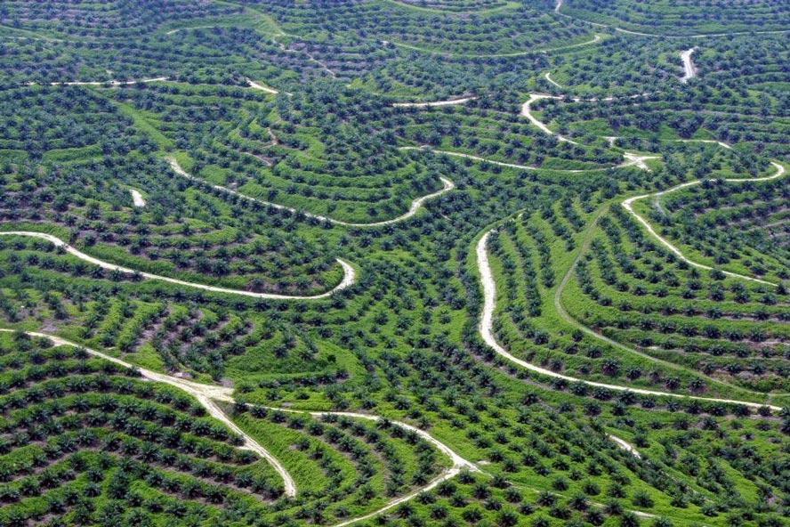 Плантации масличной пальмы в Индонезии
