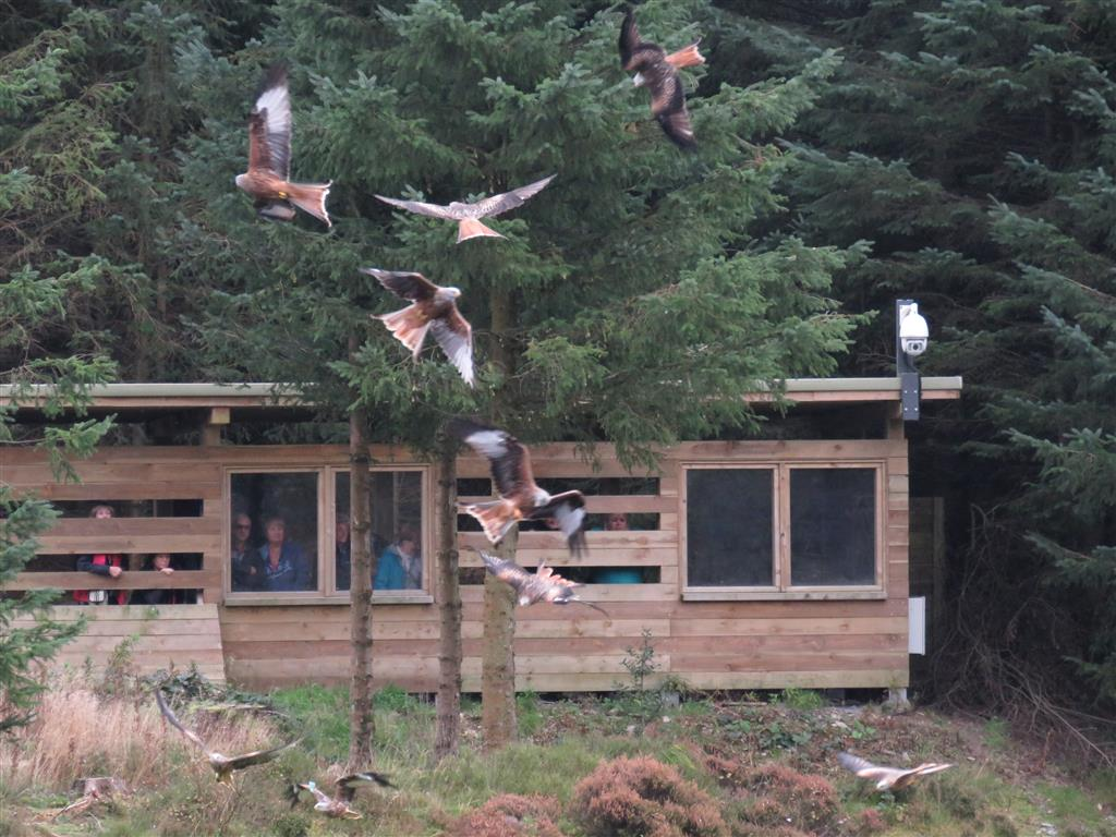 Red kites at Bwlch Nant Yr Arian Visitor Centre, mid Wales