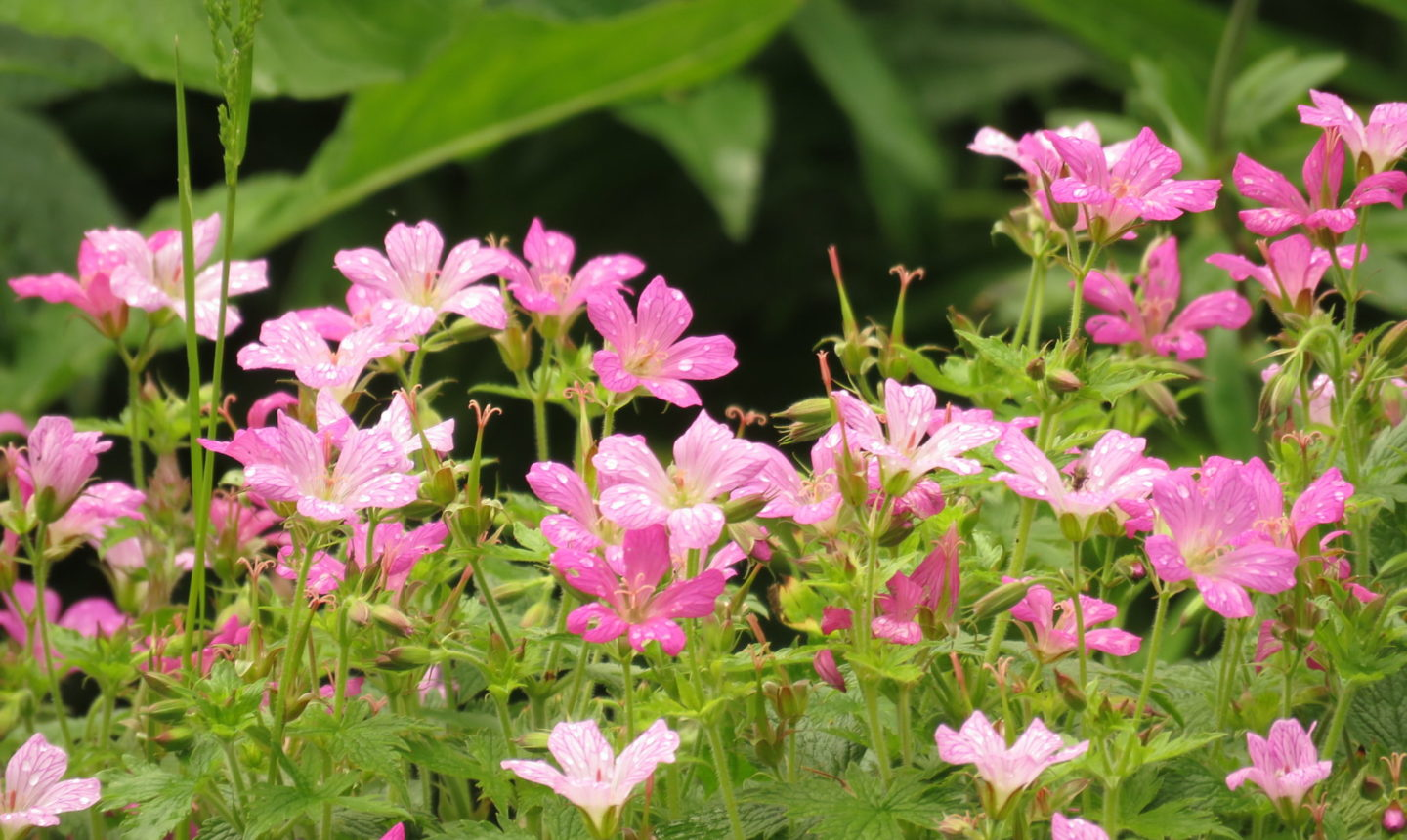 Pink flowers in the garden of the National Trust's Coleridge Cottage