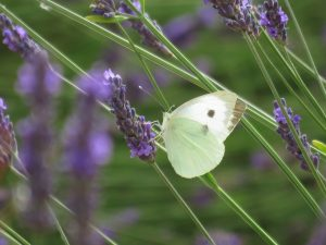 Butterfly on lavender, Somerset Lavender Farm, UK