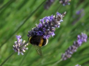 Bee on lavender, Somerset Lavender Farm, UK