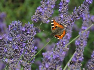 Butterfly on lavender, Somerset Lavender Farm, UK