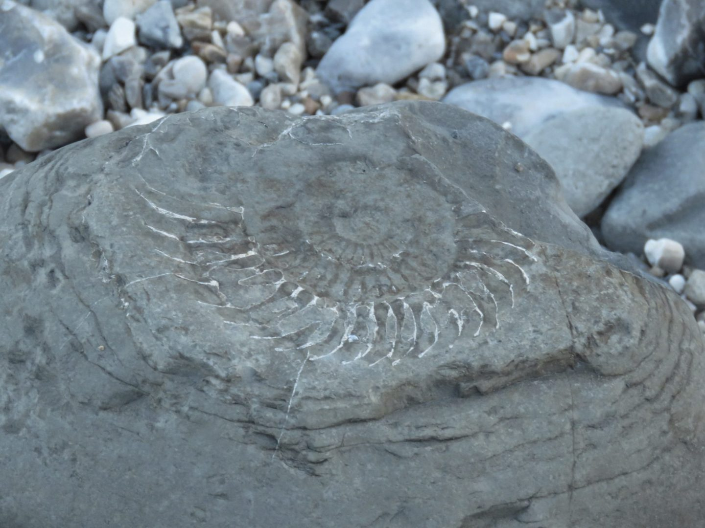 Ammonite on a beach at Lyme Regis, Dorset, England