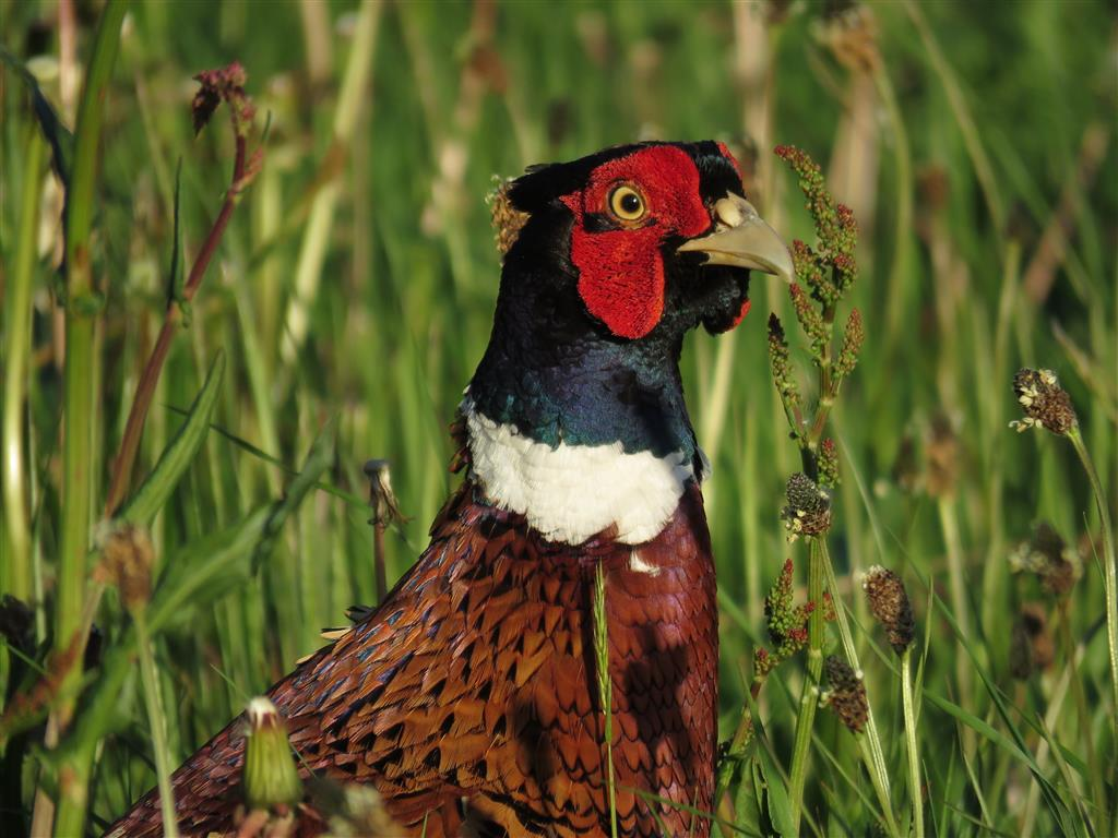 Pheasant, Wiltshire Countryside