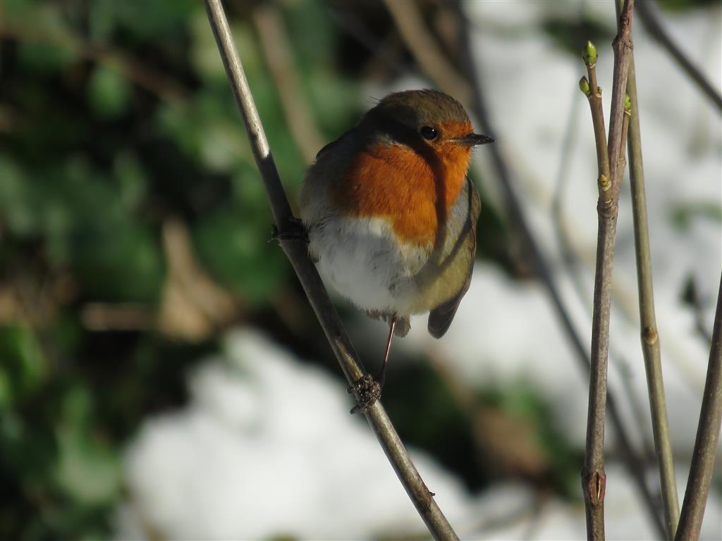 Big Garden Birdwatch, Robin