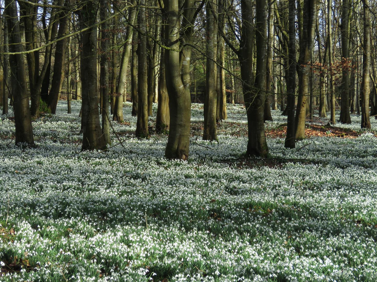 Snowdrops at Welford Park, Berkshire