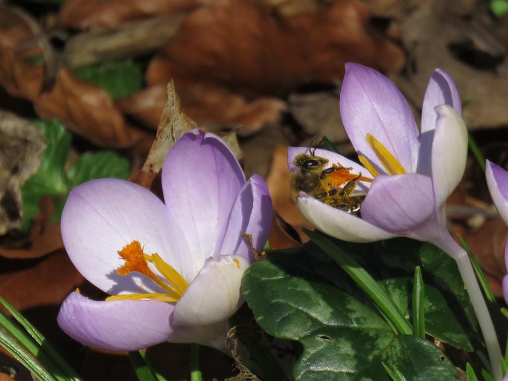 Crocuses, Painswick Rococo Garden, Cotswolds