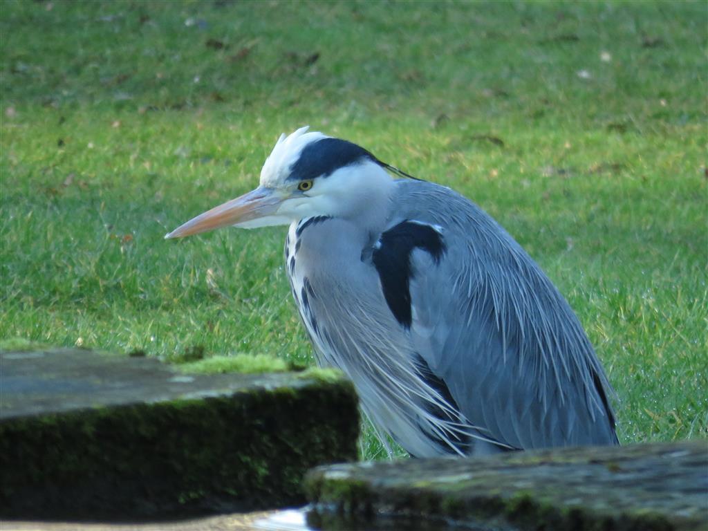 Heron, Castle Combe, Wiltshire