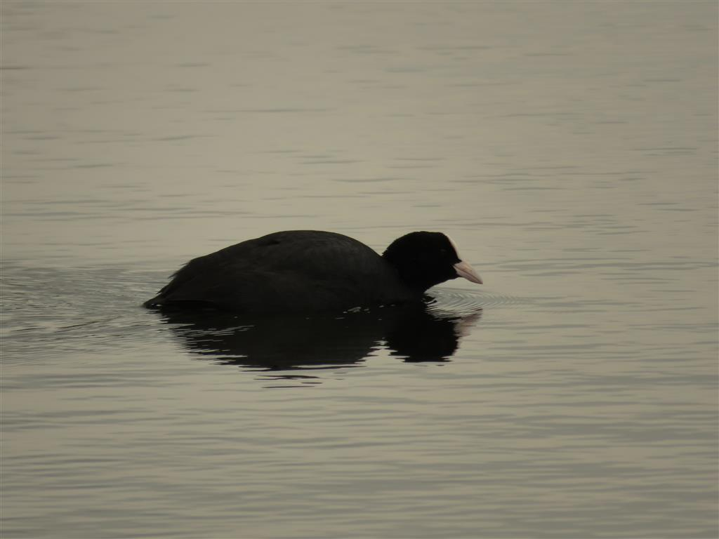 Coot, Cotswold Water Park
