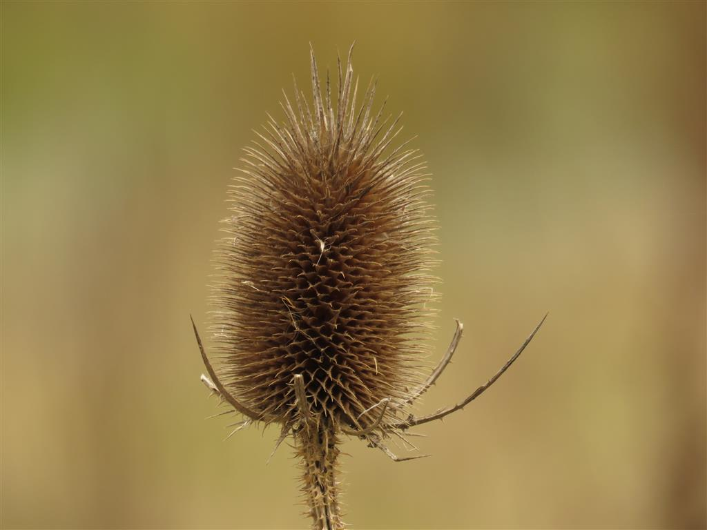 Teasel, Cotswold Water Park
