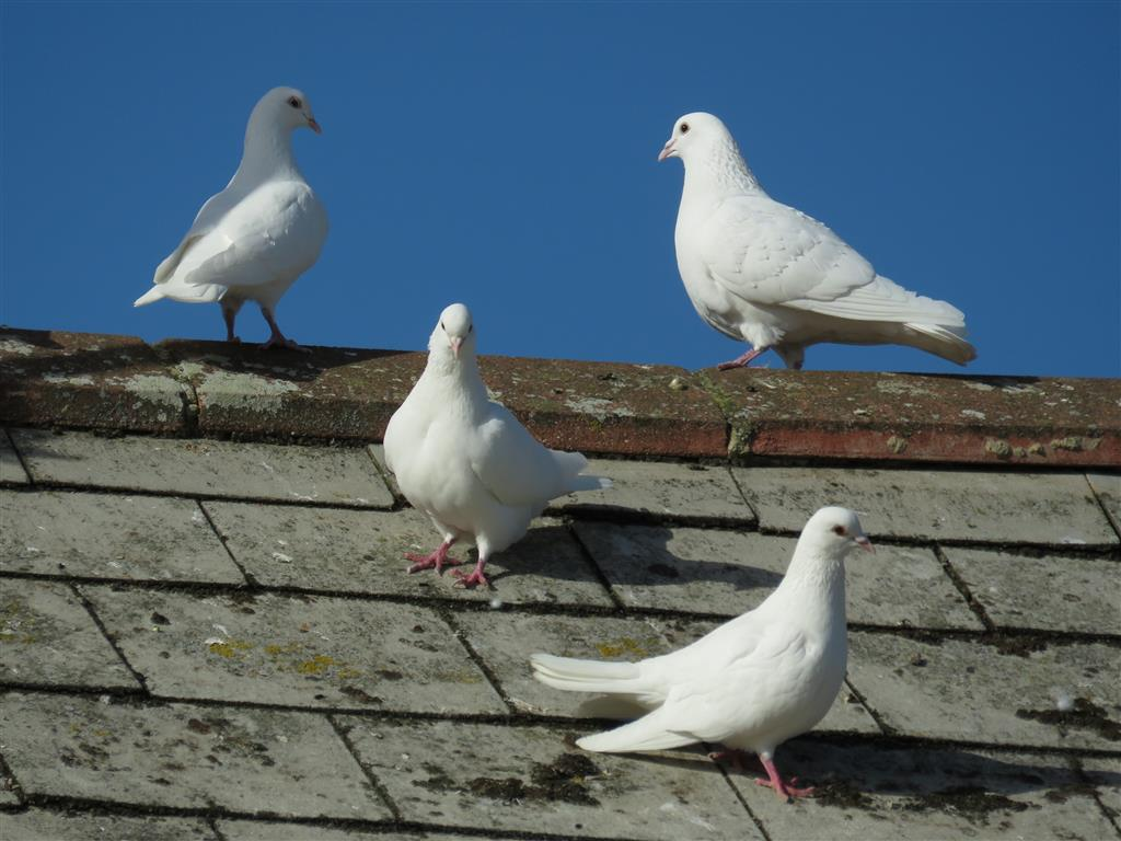 Visiting Cotswold Water Park: White Doves