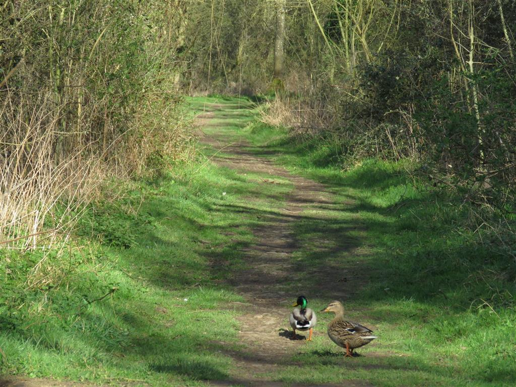 Visiting Cotswold Water Park: Ducks along the trail