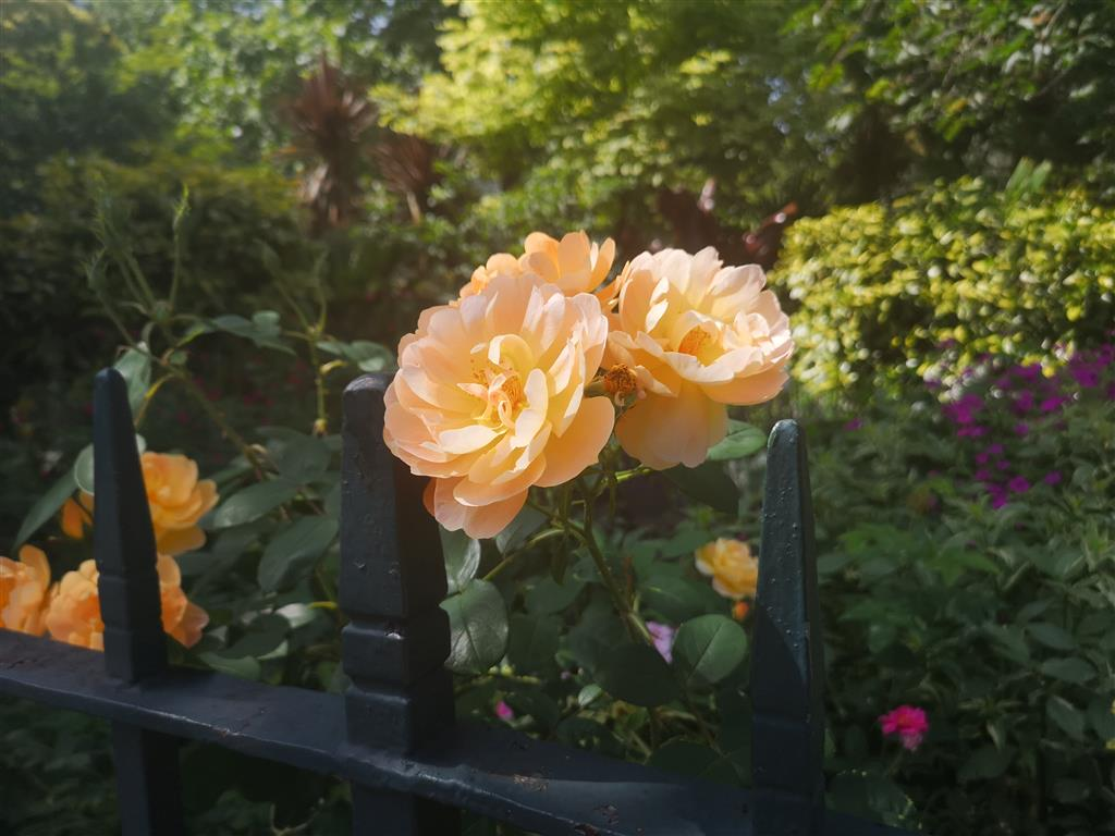 Roses of London