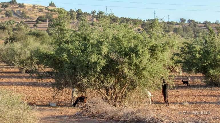 Geder ved et argan træ i Marokko. I samme område som argan fabrikkerne, ligger der plantager med argan træer og man kan se flokke af geder spise af træerne.