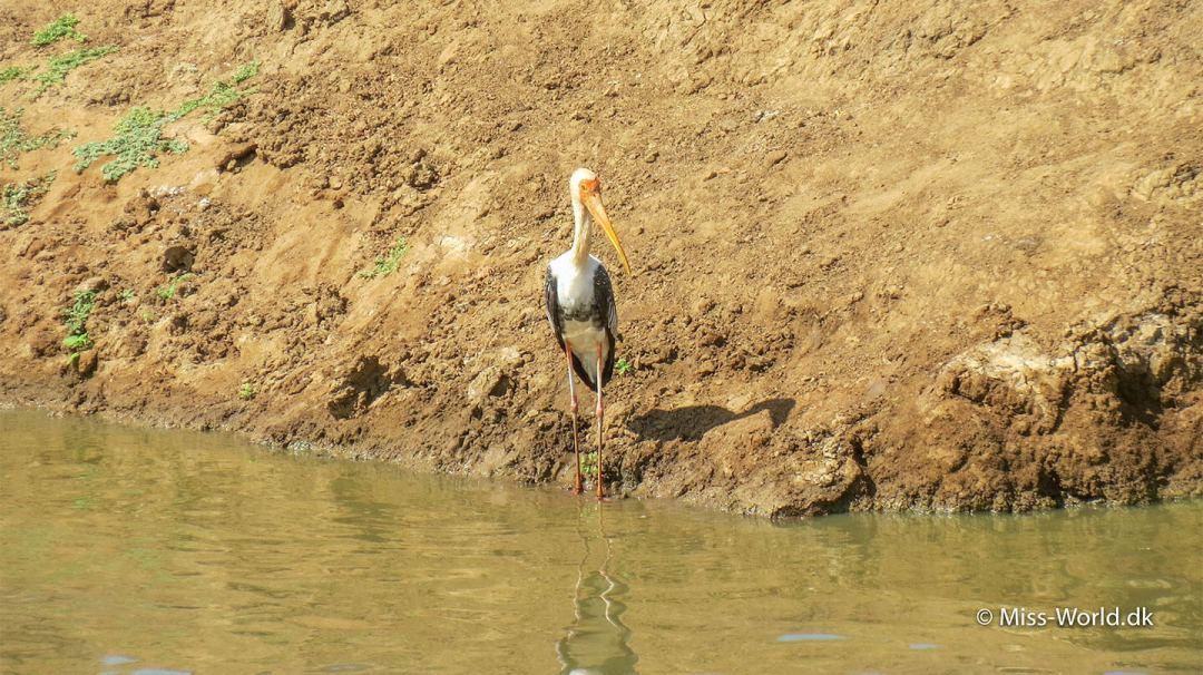 Painted stork in Udawalawe National Park Sri Lanka