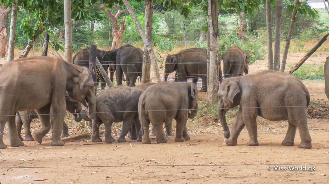 Playing elephants after milk feeding in The Elephant Transit Home in Udawalawe Sri Lanka