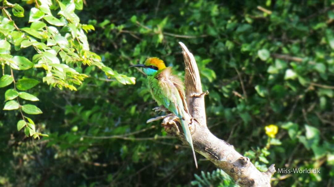 Bee Eater Yala National Park Sri Lanka
