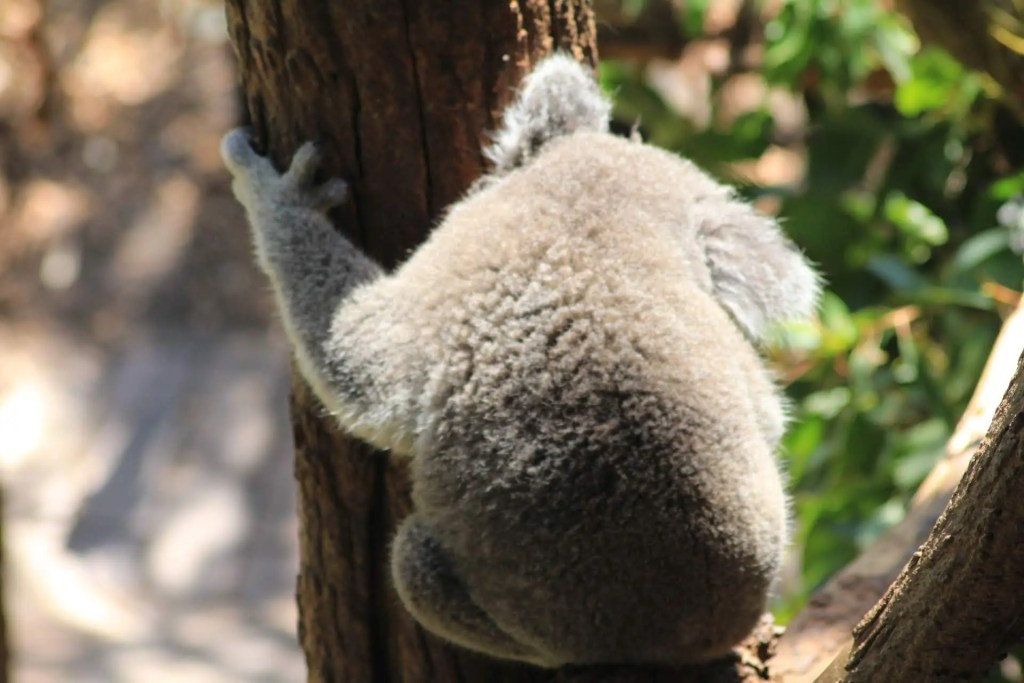 Koala at Taronga Zoo in Sydney, Australia