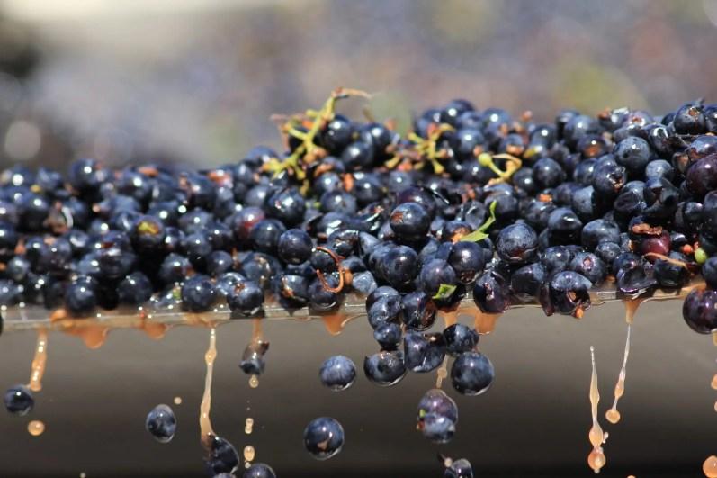 siddura_sardinia_grape_vendemmia