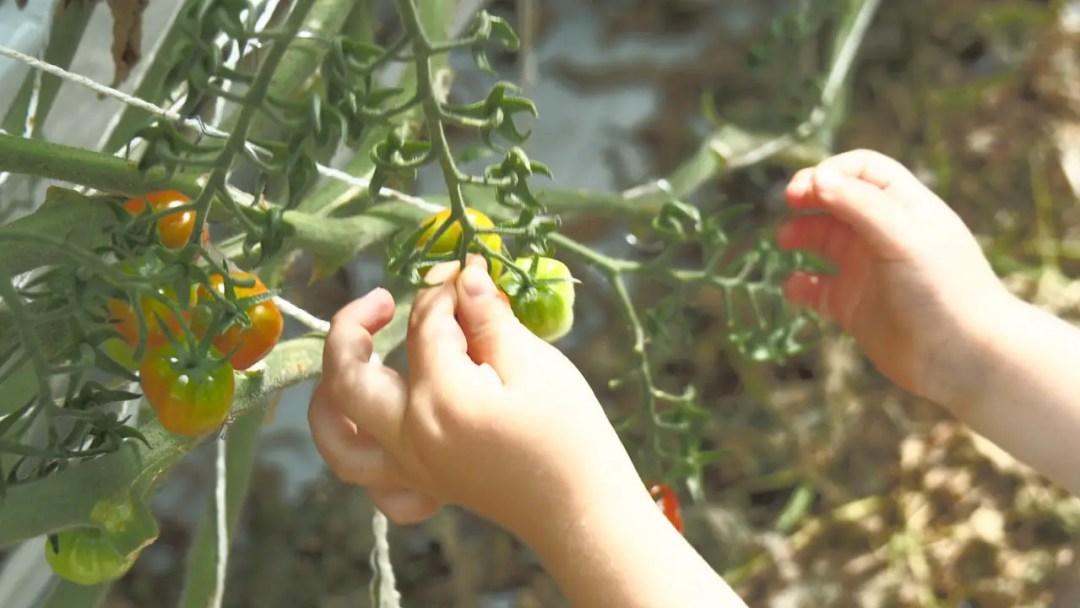 Tomaten, cherry tomaten, gewächshaus, horssol, treibhaus