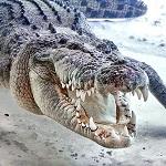 C-329-18 Crocodylus porosus