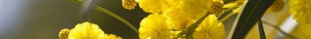 conseil entretien mimosa