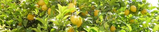 Citronnier histoire