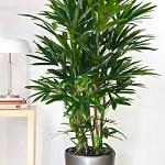 Conseil entretien palmier 6