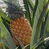 Ananas conseils