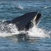 Baleine homme