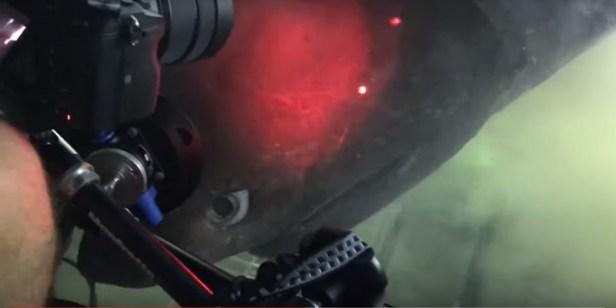 Découverte requin géant