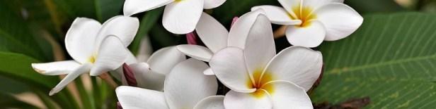 Plante d'intérieur parfumée 1