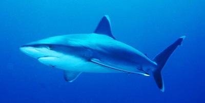 Requin 01