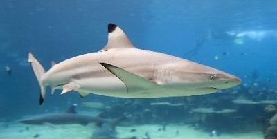 Requin 06