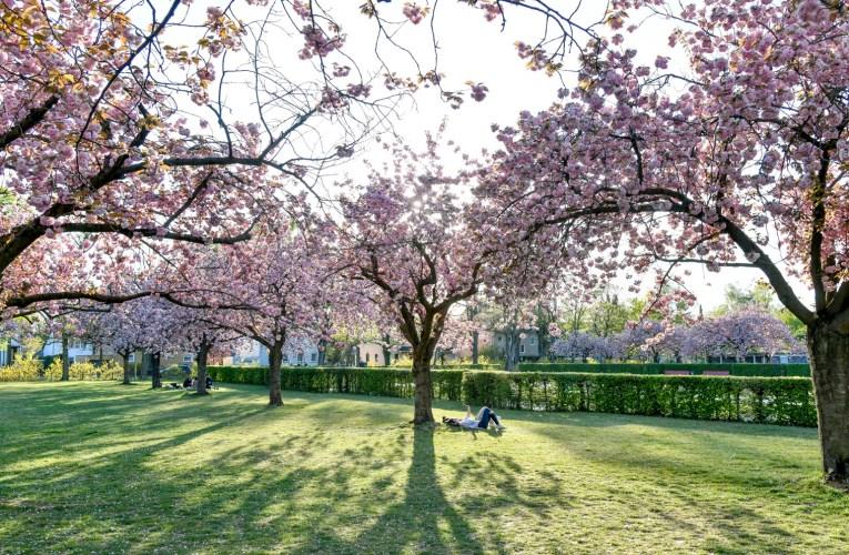 Die Kirschblüte in Berlin – unsere sechs Hotspots