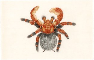 Alaskan spidercrab