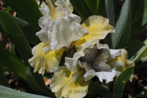 This is a very short iris, less than 18 inches tall. It blooms in mid-April in my Zone 7b garden.