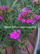 Sweet william light magenta